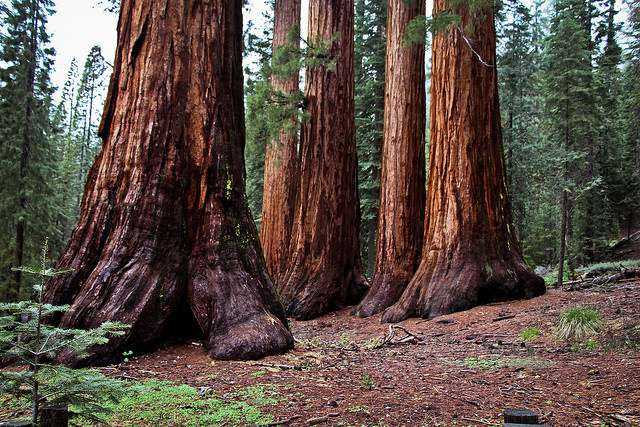 bosque de secuoyas gigantes