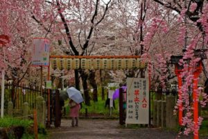 Sakura - Santuario Hirano