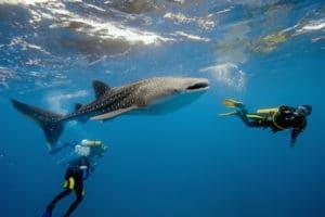 Tiburones ballena en Tailandia